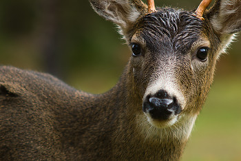 Blacktailed Deer ~ Deer picture from Cortes Island Canada.