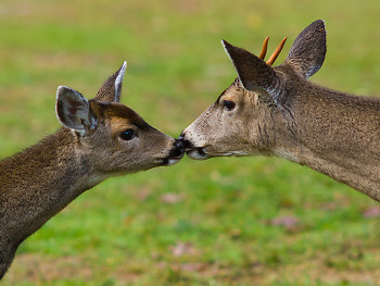 Bothers ~ Deer picture from Cortes Island Canada.