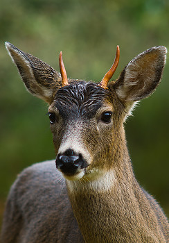 Blacktail Deer ~ Deer picture from Cortes Island Canada.