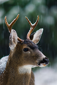 First Snow ~ Deer picture from Cortes Island Canada.