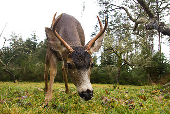 Black tailed Deer ~ Deer picture from Cortes Island Canada.