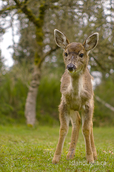 Baby Blacktail ~ Deer picture from Cortes Island Canada.