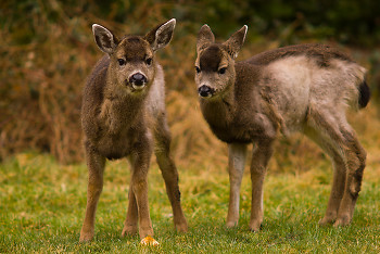 Two Young Deer ~ Deer picture from Cortes Island Canada.