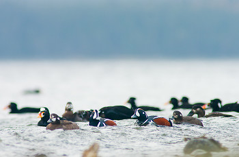 Harlequin Ducks and Surf Scoters ~ Duck picture from Cortes Island Canada.