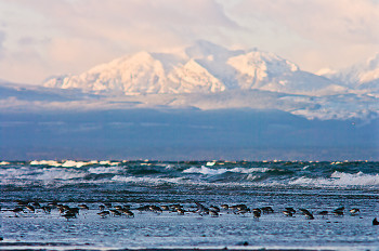 Mountain and Dunlin ~ Dunlin picture from Cortes Island Canada.