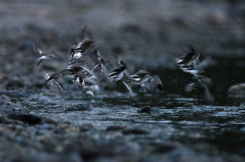 Dunlin Launch ~ Dunlin picture from Cortes Island Canada.