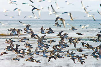 Dunlin in Flight ~ Dunlin picture from Cortes Island Canada.
