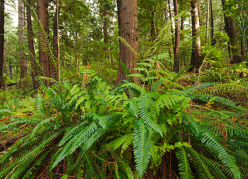 A Forest of Ferns ~ Fern picture from Cortes Island Canada.