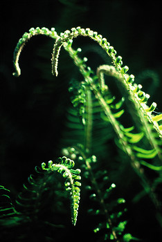 Dancing Sward Ferns ~ Fern picture from Cortes Island Canada.