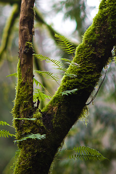 Tree Ferns ~ Fern picture from Cortes Island Canada.