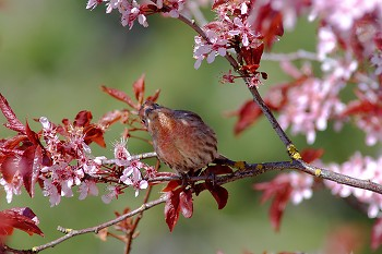 House Finch under Cherry Blossoms ~ Finch picture from Cortes Island Canada.