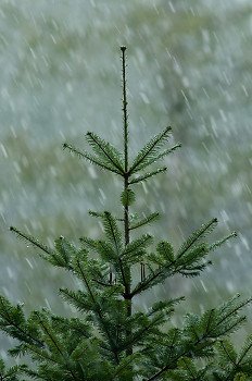 Young Grand Fir tree in Falling Snow ~ Fir Tree picture from Cortes Island Canada.