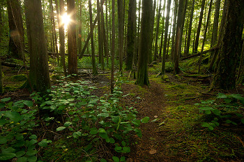 Sun on the Path to Green Mountain ~ Forest picture from Cortes Island Canada.