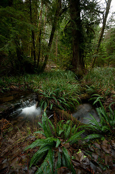 Deer Fern and Associates ~ Forest picture from Cortes Island Canada.