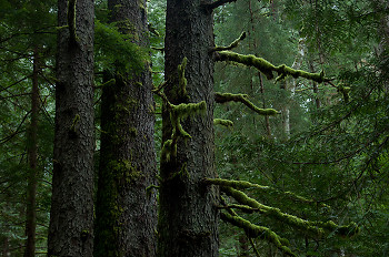 Old-growth Sitka Spruce ~ Forest picture from Cortes Island Canada.