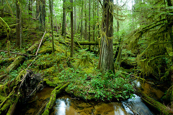 Grandmother Grove ~ Forest picture from Cortes Island Canada.