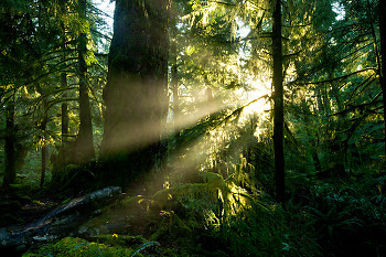 Sun Shining into the Old-growth ~ Forest picture from Cortes Island Canada.