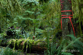 Unnatural Red Tape ~ Forest picture from Cortes Island Canada.