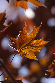 Autumn Maple Leaf ~ Forest picture from Cortes Island Canada.
