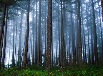 Fog and Fir Trees ~ Forest picture from Cortes Island Canada.