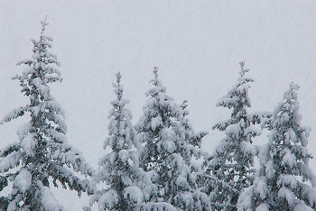 Snow Storm ~ Forest picture from Cortes Island Canada.