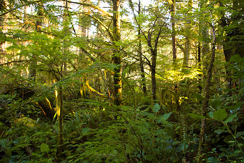 Rain Forest ~ Forest picture from Cortes Island Canada.