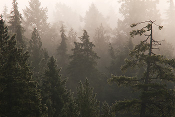 Foggy Forest ~ Forest picture from Cortes Island Canada.