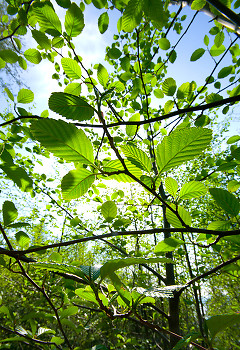 Spring Alder Leaves ~ Forest picture from Cortes Island Canada.