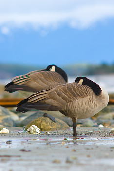 Canada Geese ~ Geese picture from Cortes Island Canada.