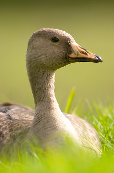 Aanser Albifrons ~ Goose picture from Cortes Island Canada.