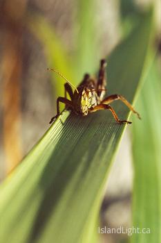 Grasshopper picture from Cortes Island Canada.