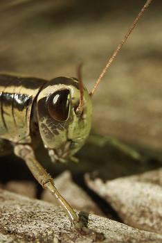 Grasshopper Encounter ~ Grasshopper picture from Cortes Island Canada.