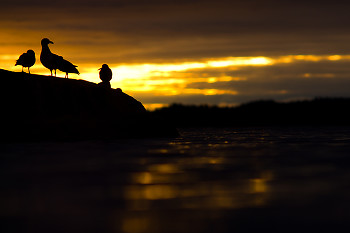 Sunrise Silhouettes ~ Gull picture from Cortes Island Canada.