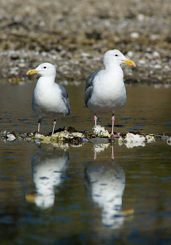 Glaucous-winged Gulls ~ Gull picture from Cortes Island Canada.