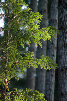 Sunlight on Hemlock Needles ~ Hemlock Tree picture from Cortes Island Canada.