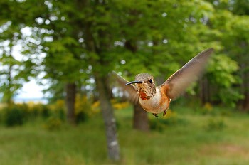 Rufus Hummingbird on the Wing ~ Hummingbird picture from Cortes Island Canada.
