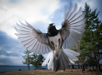 Flight ~ Junco picture from Cortes Island Canada.