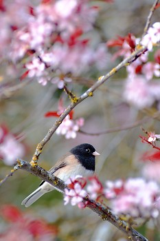 Dark-eyed Junco amongst Cherry Blossoms ~ Junco picture from Cortes Island Canada.
