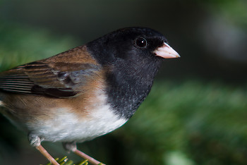 Junco Hyemalis Portrait ~ Junco picture from Cortes Island Canada.