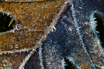 Frosted oak leaf ~ Leaf picture from Cortes Island Canada.