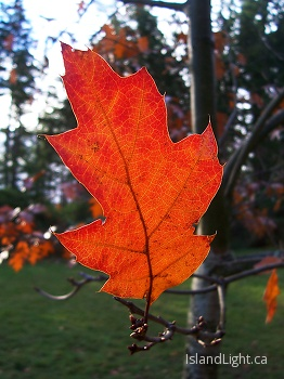 Autumn Oak Leaf ~ Leaf picture from Cortes Island Canada.