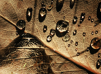 Droplets on a Dry Salal Leaf ~ Leaf picture from Cortes Island Canada.