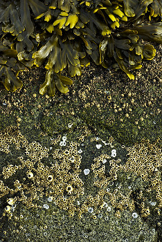 Barnacle Bands ~ Other  picture from Cortes Island Canada.