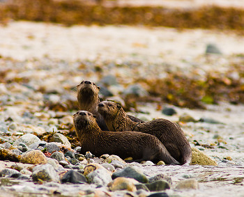 Otter Family ~ Otter picture from Cortes Island Canada.