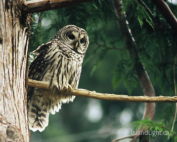 Barred Owl ~ Owl picture from Cortes Island Canada.