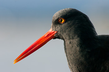 Black Oystercatcher Portrait ~ Oystercatcher picture from Cortes Island Canada.
