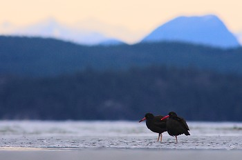 Pair of Black Oystercatchers ~ Oystercatcher picture from Cortes Island Canada.