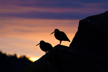 Pair of Black Oystercatchers at Sunrise ~ Oystercatcher picture from Cortes Island Canada.