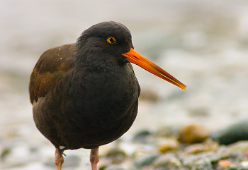 Haematopus Bachmani ~ Oystercatcher picture from Cortes Island Canada.