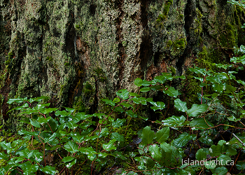 The Base of the Tree ~ Plant  picture from Cortes Island Canada.